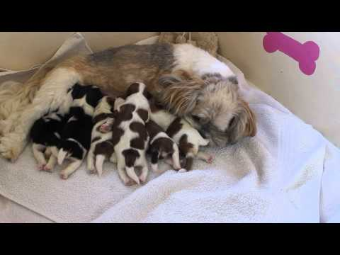 lhasa apso dog penny cleaning her puppies
