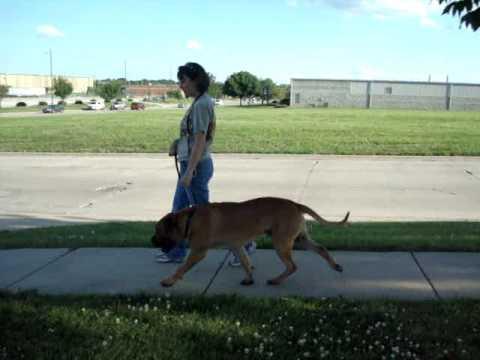 Dog Walking - Humane Society of Central Illinois