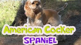 American Cocker Spaniel.girl Betty So Cute!!