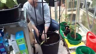 50 sog episode 35 planting the Runner beans in a 30lt pot