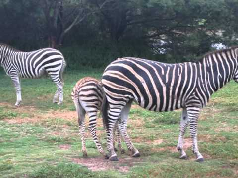 Racing Stripes: Racing Stripes Zebra Noise