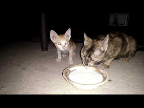 Black & White Cat with Kitten Aged 101 Days Brown Cat with Brown Kitten Drinking Milk