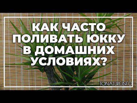 Как часто поливать юкку в домашних условиях? | toNature.Info
