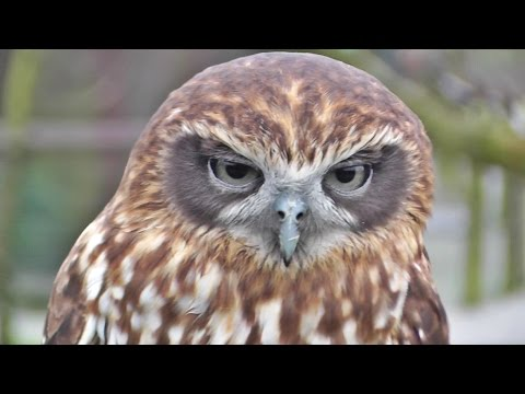 Morepork or Southern Boobook Owl at Screech Owl Sanctury
