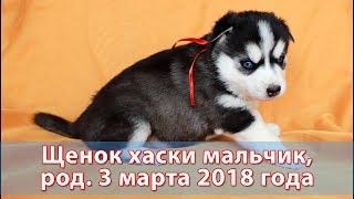 Предлагаем щенка хаски, родился 3 марта 2018 года