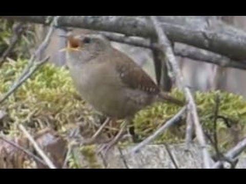 Ruf Und Gesang Des Zaunkonig Vogelstimmen Singvogel Wren Singing