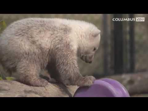 polar-bear-cub-learns-to-swim