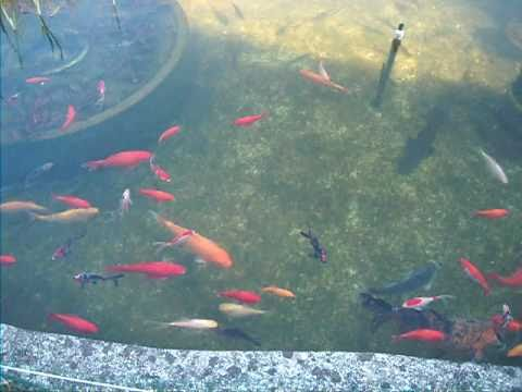 bassin jardin poisson rouge carpe koi esturgeon tortue de