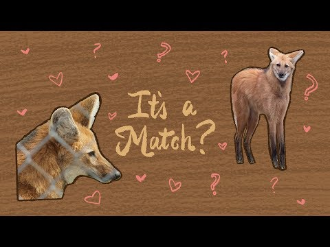 Matchmaking For Maned Wolves | Maddie About Science