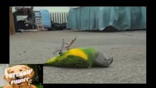 Những pha giả chết bá đạo của động vật