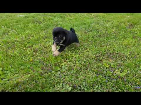 9weeks old black and tan Pug puppies for sale
