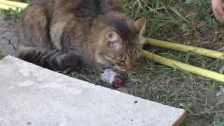 Кошка Чижик ест крысу
