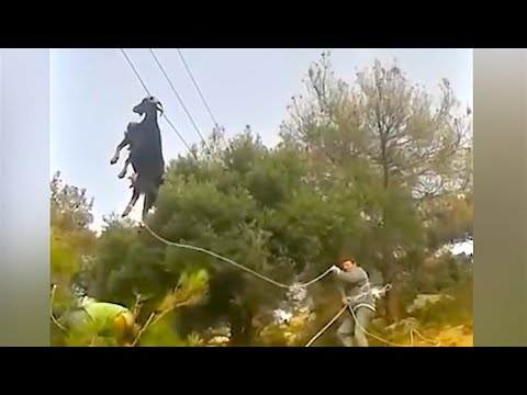 Ozzy Man Reviews: Goat on a Power Line