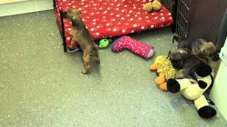 Little Rascals Uk Breeders New Litter Of Puggle (pug X Beagle)