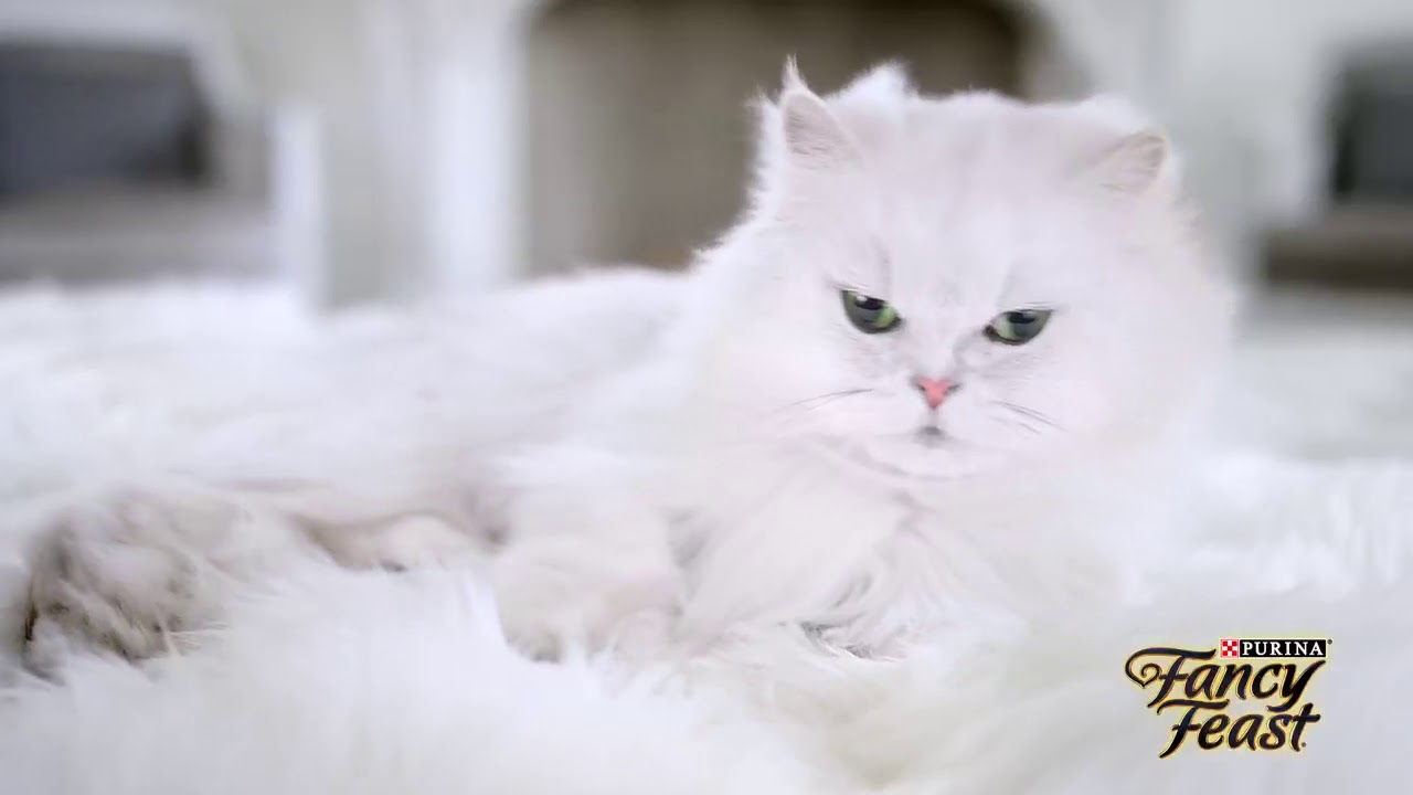 Pre-Loved Persian Kittens For Sale Doll Face Persian Kittens