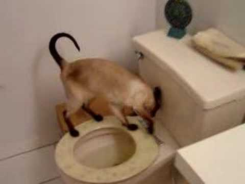 A Siamese Cat Using Toilet