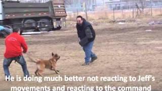 Utah Dog Training Belgin Malinois Bite Work