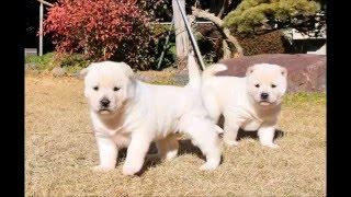 紀州犬の赤ちゃん、くまことくまぞー。 お母さんは風ちゃん、お兄ちゃん...