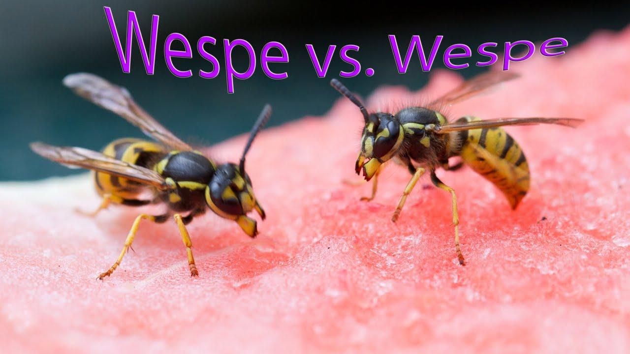 wespen k mpfen und hornisse kommt wasps fighting hornet interrupts youtube. Black Bedroom Furniture Sets. Home Design Ideas
