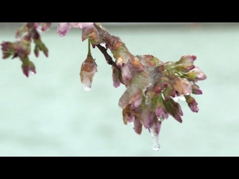 March snow threatens survival of Washington's cherry blossoms