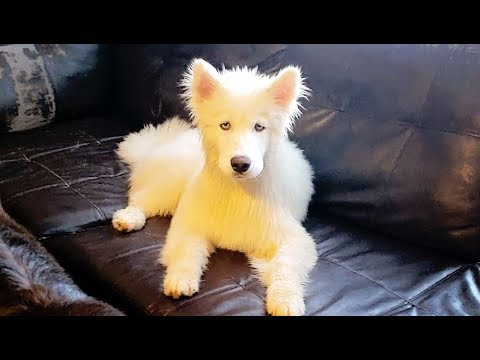 Husky Puppy? Lamb? or Afghan Hound? You tell me..........lol