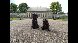 Sheffield Botanical Gardens visited by two Affenpinschers