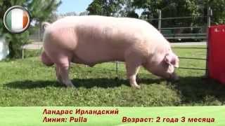 племенные свиньи породы 'Ландрас