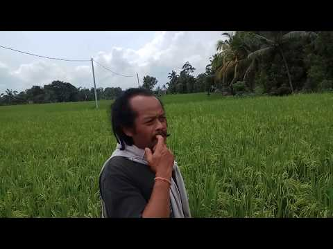 Bali Spice Islands, healthy soil farming organic rice