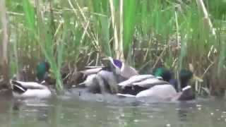 Duck Rape - Mallard Duck Group Mating