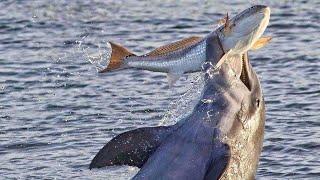 Гангстеры подводного мира - ДЕЛЬФИНЫ В ДЕЛЕ! Они умеют охотиться и знают толк в развлечениях!