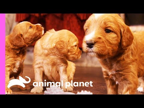 A Dozen Goldendoodle Puppies Take Over This House! | Too Cute!