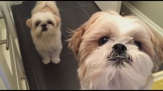 [shih Tzu] Doggie Do Itchy Bum On Command 仔仔表演磨磨屁股