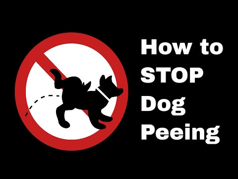 Stopping unwanted urination in puppies / submissive or excited peeing