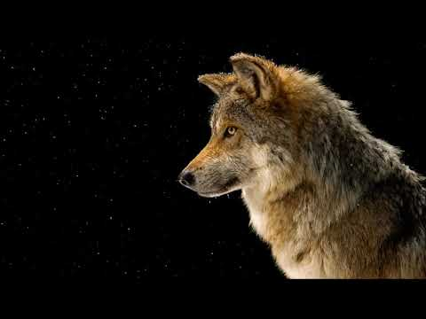 Wolf Howl Sound | Ringtones for Android | Animal Ringtones