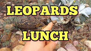 Download A LEOPARDS LUNCH ☆ GEOCHELONE PARDALIS TORTOISE: EATING TOXIC COTYLEDON ORBICULATA VAR ORBICULATA ☆