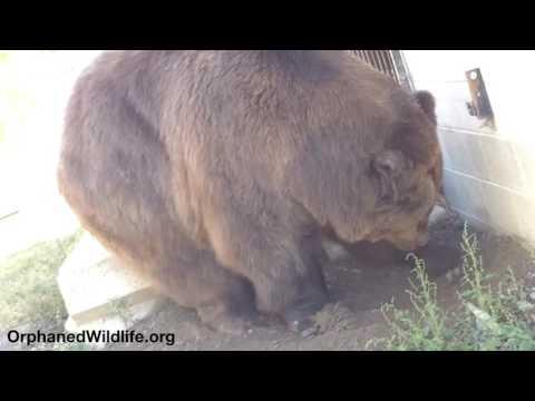 Jimbo excavating his enclosure.
