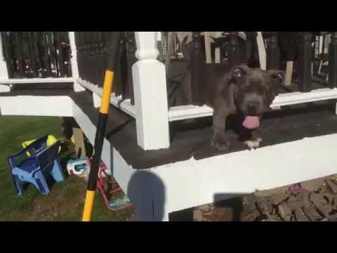 American bully puppy