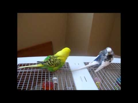 Itchy Budgies - YouTube