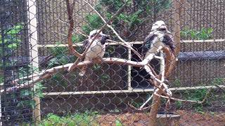 Kookaburra eating dead mouse at Roger Williams Park Zoo!
