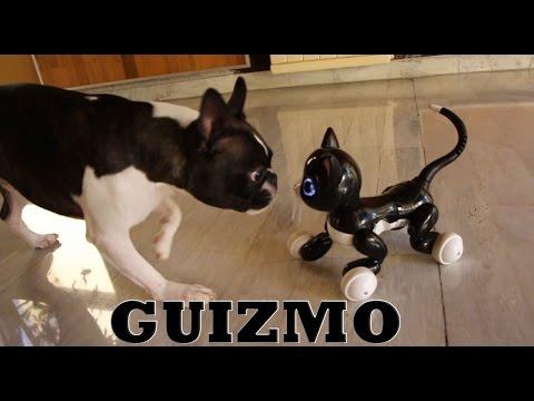 Boston terrier & Interactive cat