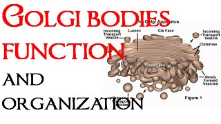 Golgi bodies function and organization