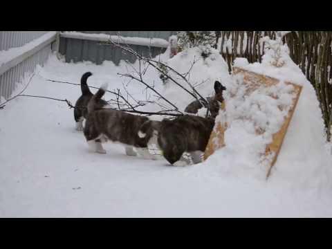 Welsh corgi cardigan puppies №3