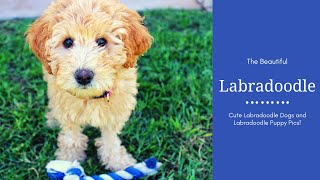 Labradoodle Dog Breed Pictures  Beautiful Labradoodle Puppy Pcs