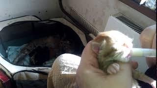 Прикормка новорожденного котенка Мейн кун заменителем кошачьего молока  Beaphar