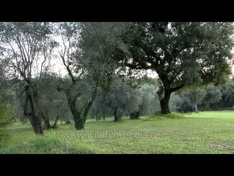 Olive groves in Valbonne, French Riviera