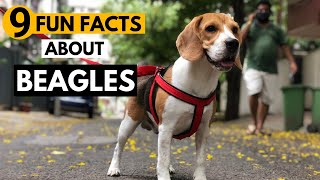 9 Facts About Beagles you didn't know!