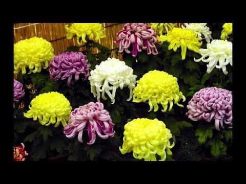 Хризантема корейская, крупноцветковая и мелкоцветковая. Никитский Ботанический Сад. Бал Хризантем.