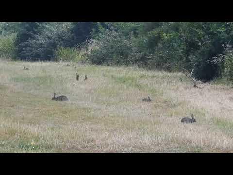 Enkele wilde konijnen