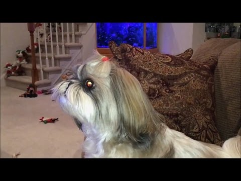 Lacey has the Shih Tzu bark | Spooky eyes 👀 | Cute dog 🐾