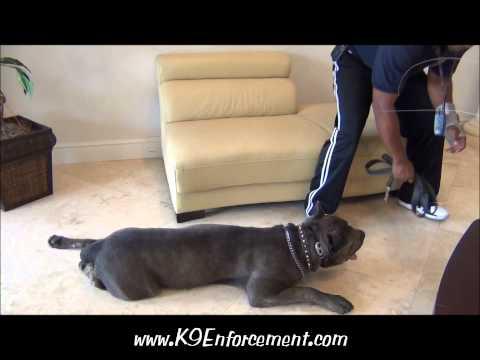 Family Protection Cane Corso - Achilles_ K9 Enforcement